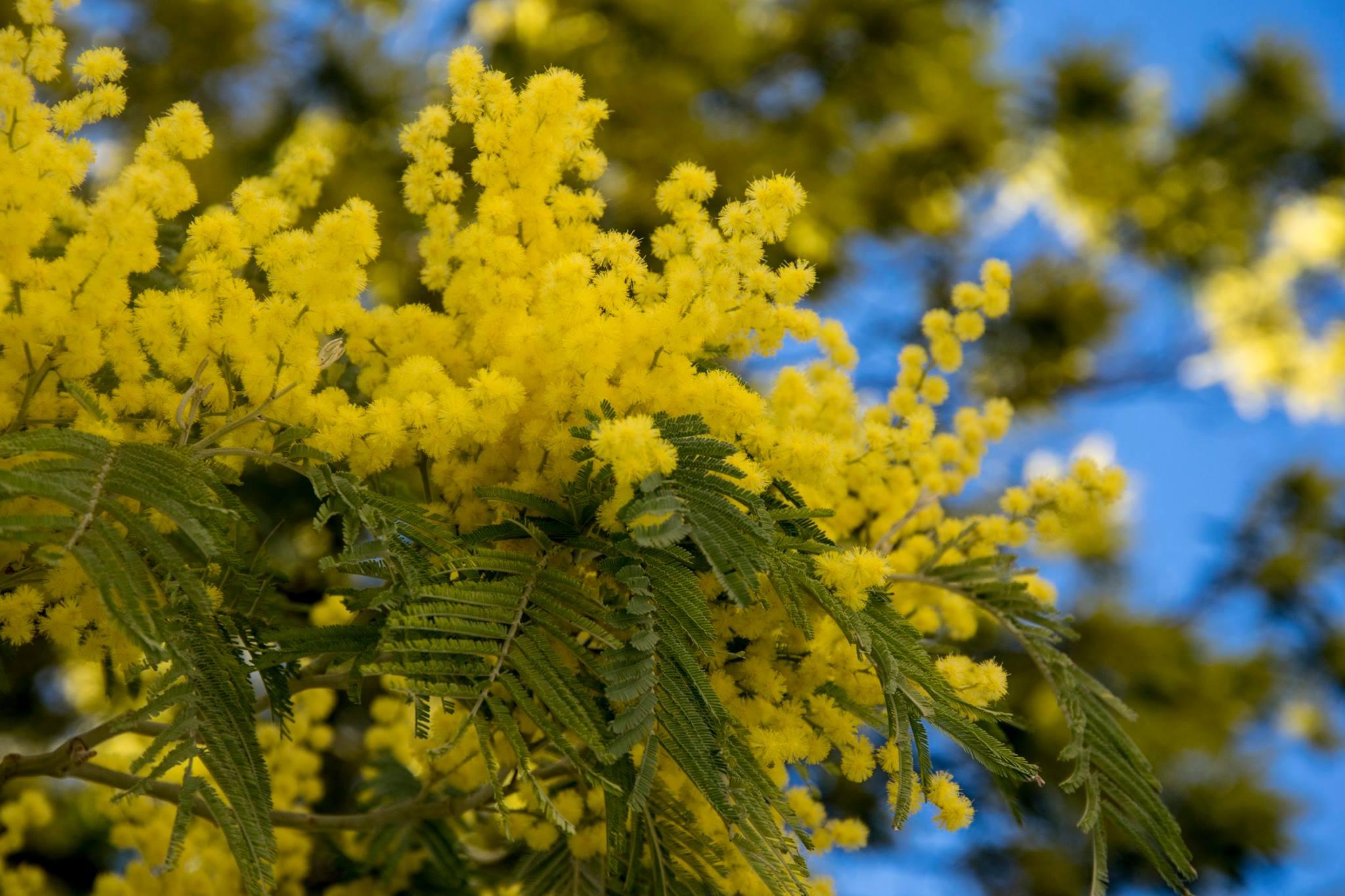 заросли мимозы. Блиц: желтые цветы