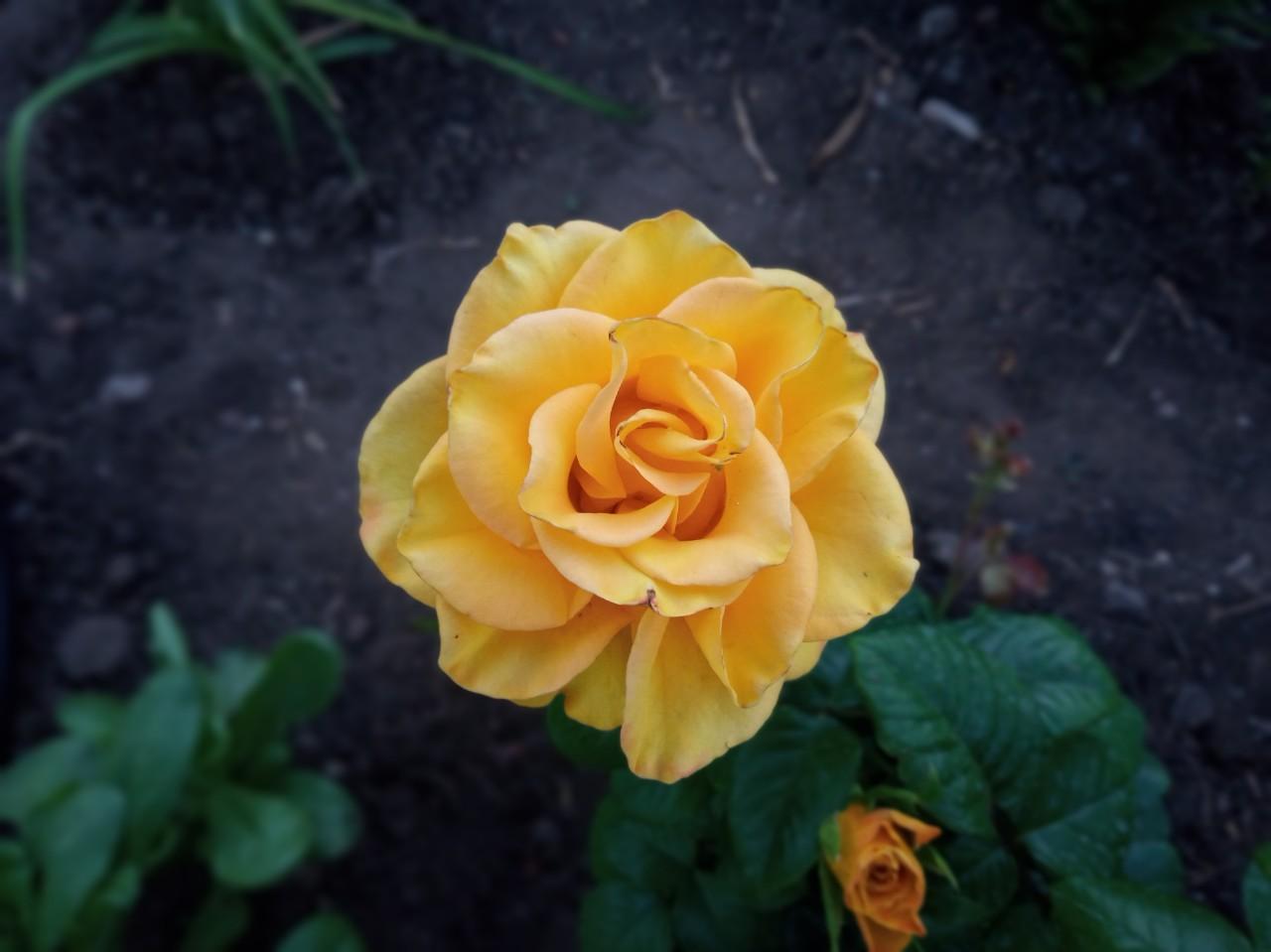 Желтая красавица.... Блиц: желтые цветы