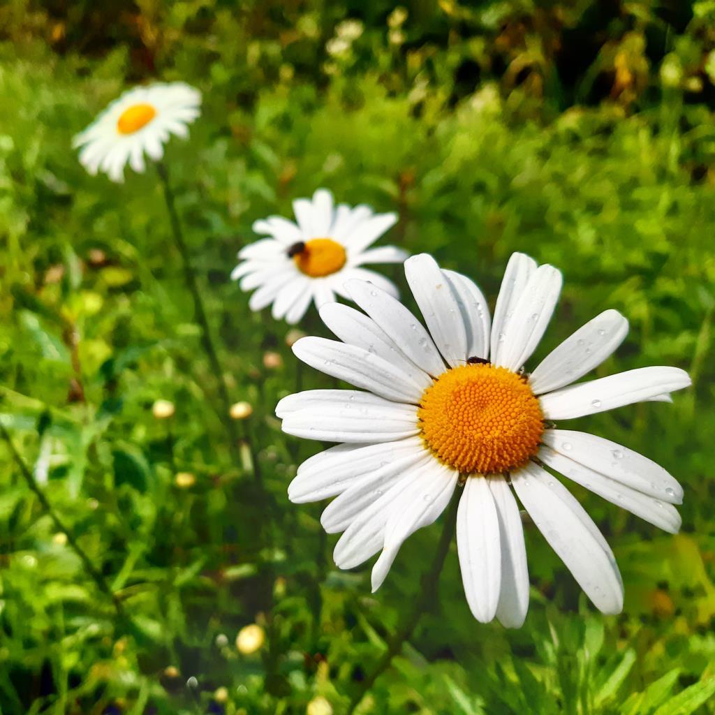 Самые прекрасные ромашки полевые!. Блиц: полевые цветы