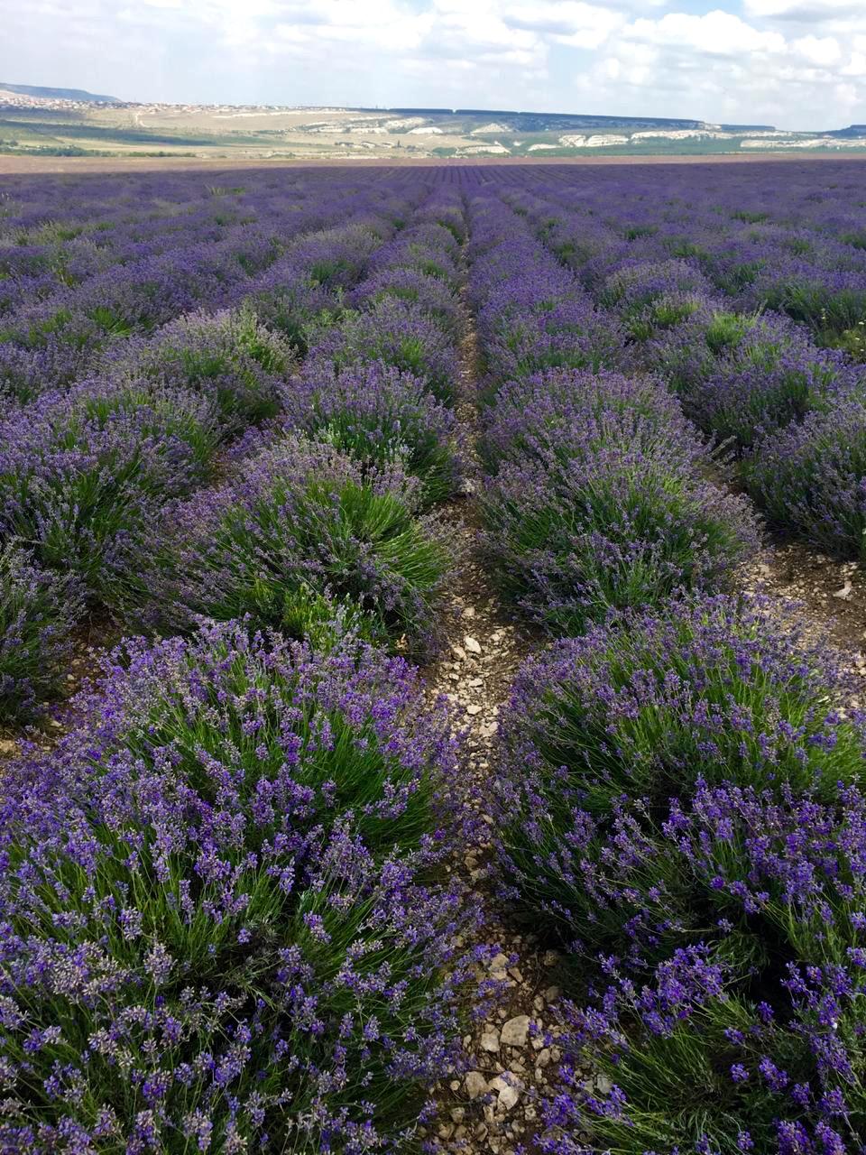 Крымская лаванда. Блиц: полевые цветы