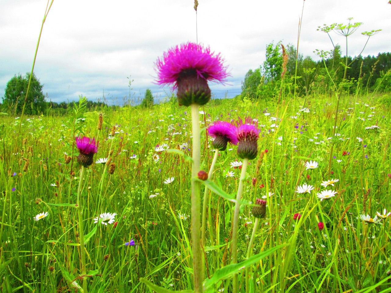 Прекрасный цветок!. Блиц: полевые цветы