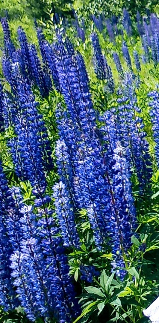 Синие люпинчики. Блиц: полевые цветы
