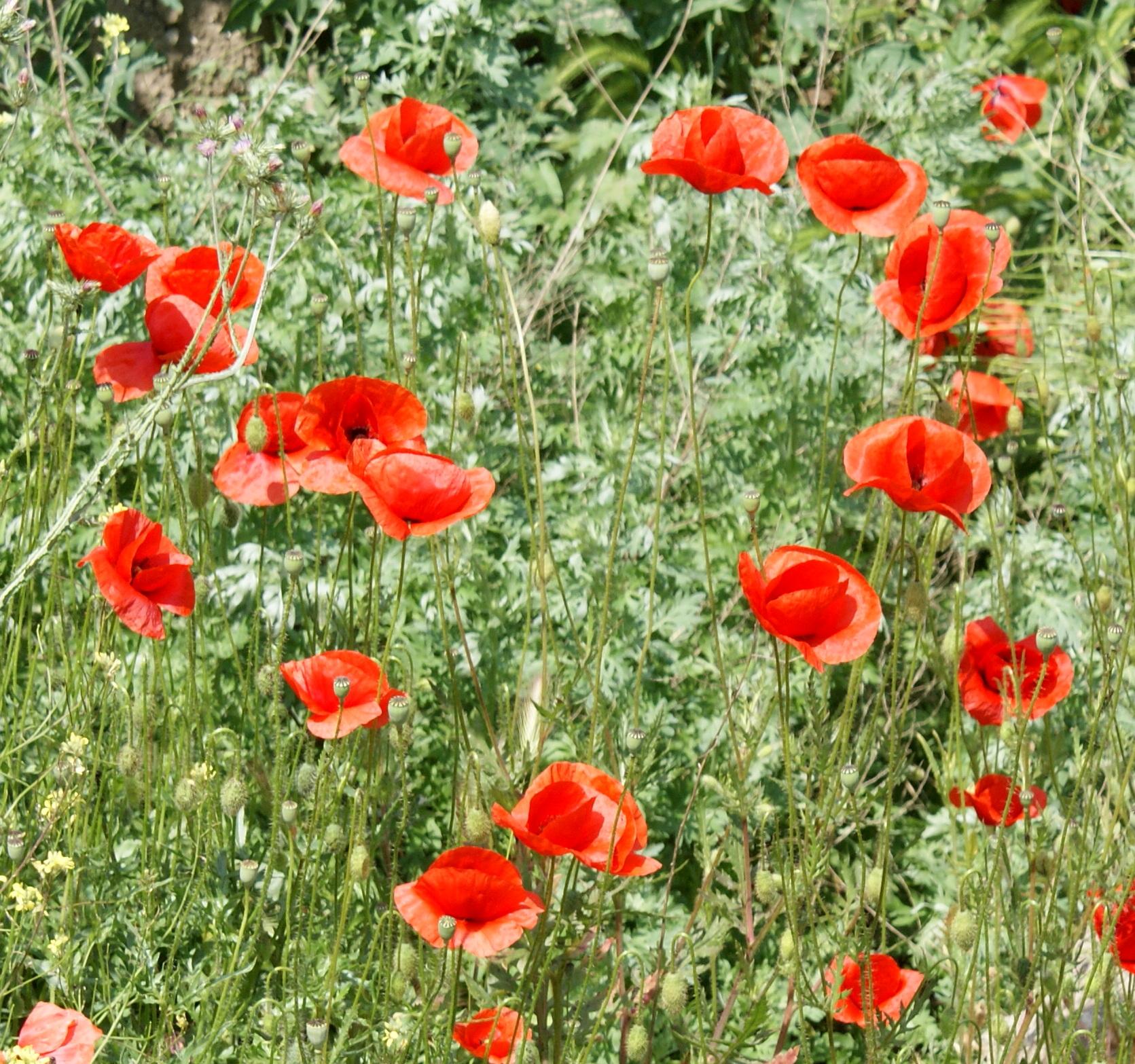 Маковые поля. Блиц: полевые цветы