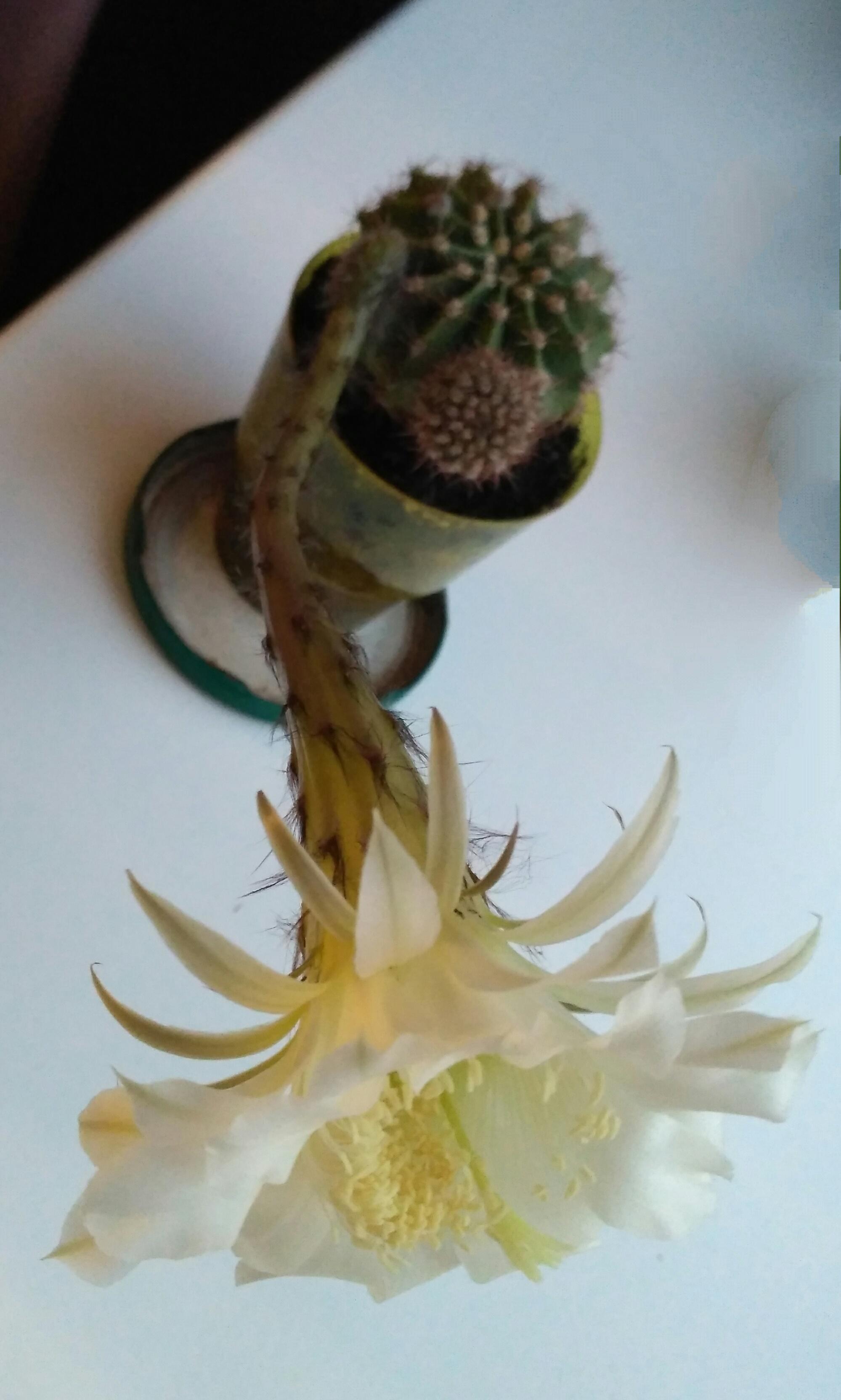 Кактусенок. Блиц: кактусы