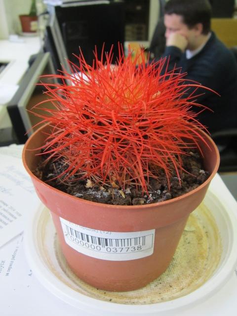 Красный кактус. Блиц: кактусы