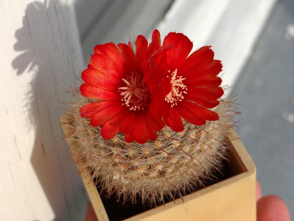 Аленький цветочек.. Блиц: кактусы