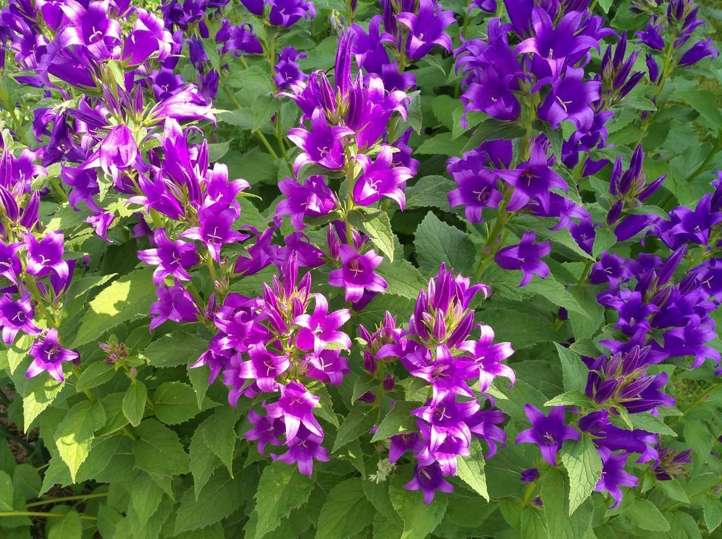 Блиц: полевые цветы. Колокольчики.. Блиц: полевые цветы