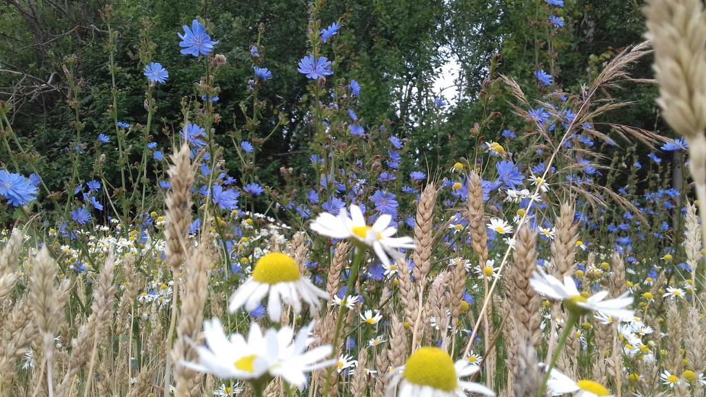 Ароматное лето. Блиц: полевые цветы
