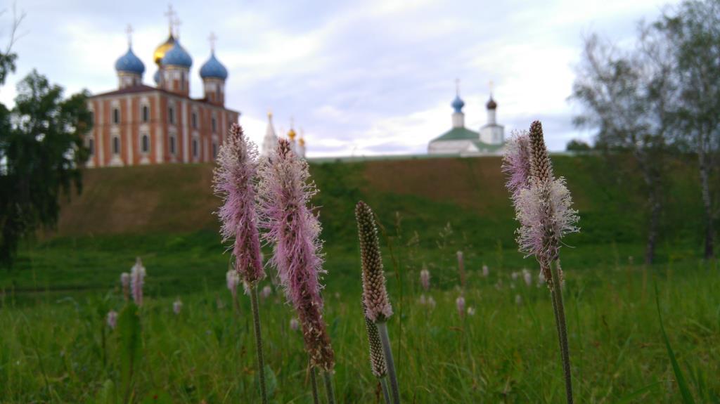 Горец в Рязани. Блиц: полевые цветы