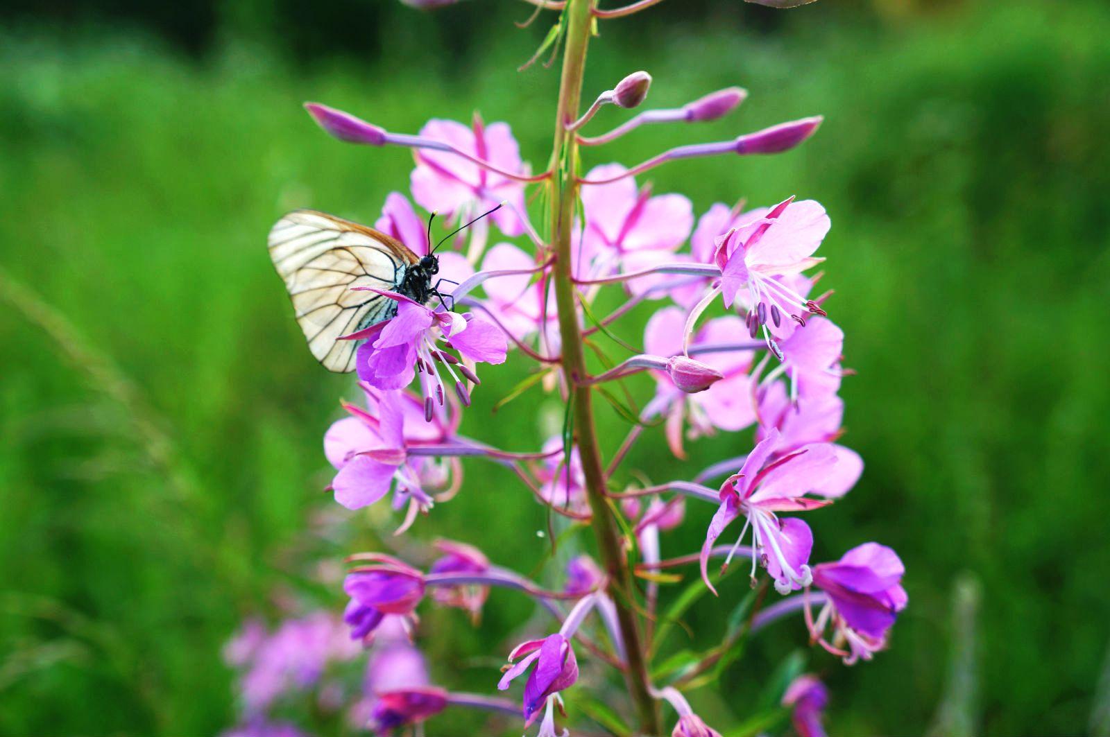 ИВАН-ЧАЙ. Блиц: полевые цветы