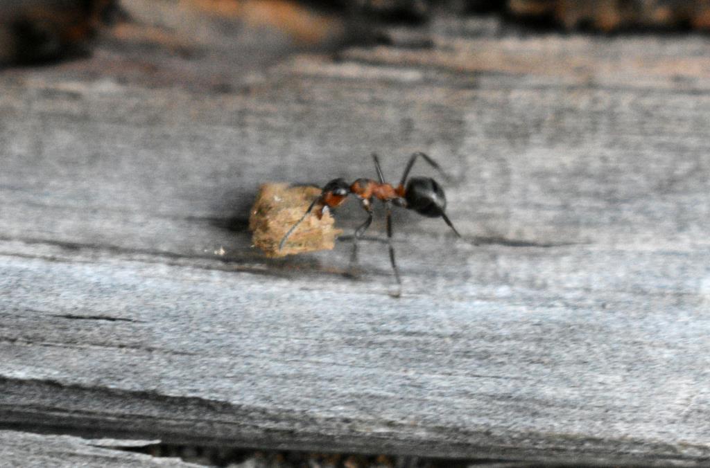 Представитель муравьиного клана). Блиц: жизнь насекомых