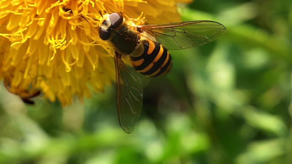 Пчелка осенняя. Блиц: жизнь насекомых