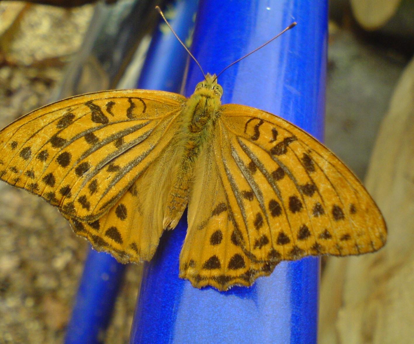 бабочка - перламутровка. Блиц: жизнь насекомых