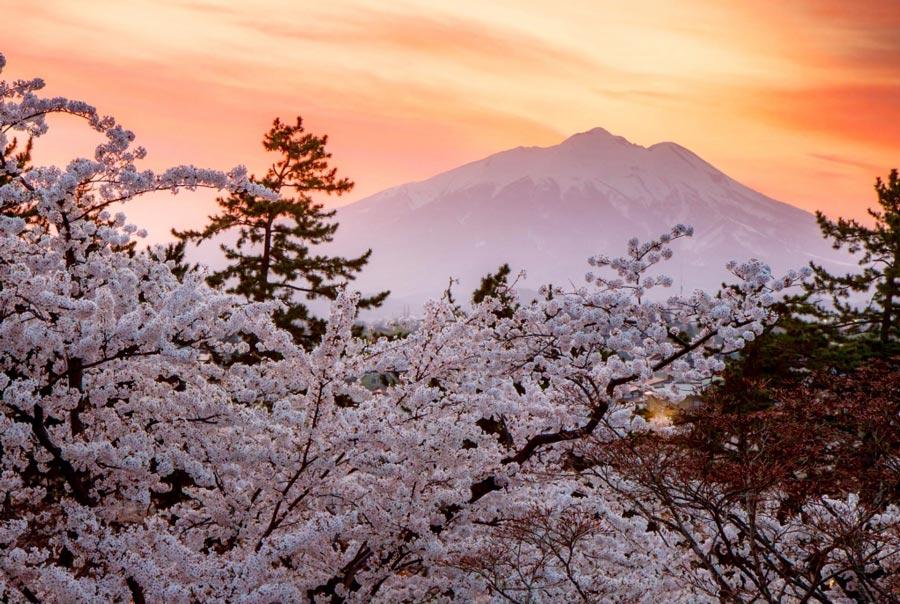 Прогноз цветения сакуры в Японии 2020