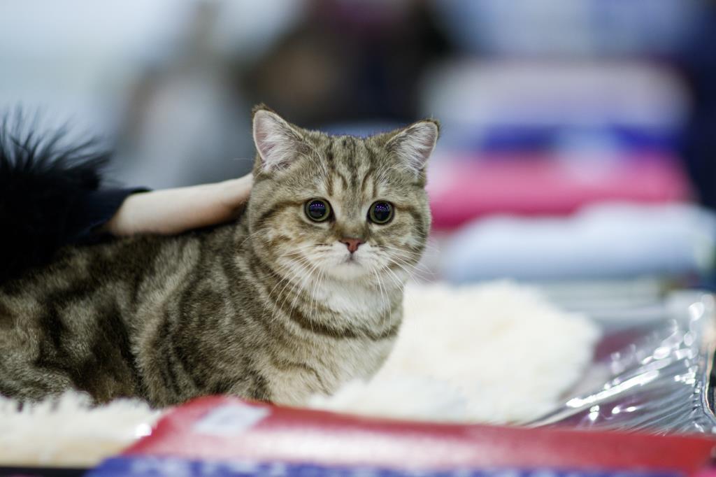 Онлайн-выставка кошек «Summer Cat Show»  4 и 5 июля 2020 года! Выбери себе котенка!