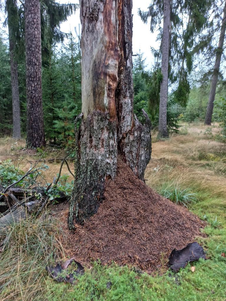 муравейник. Лесной пейзаж
