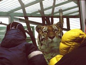 бедный тигр