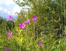 Колокольчики - любимые луговые цветы