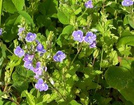 Вероника - цветок лазоревый