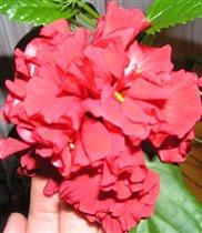 моя китайская роза