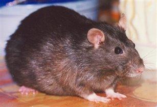 Кристинка - крыса любимая.