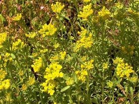Первые цветки алиссума скального