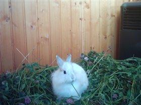 Банни (декоративный кролик)