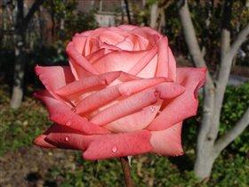 Роза для тебя.