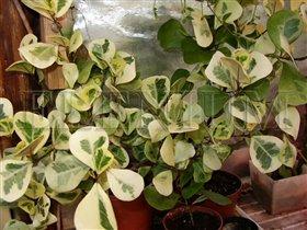 Ficus triangularis cv. Variegata