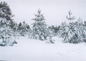 Заснеженная елка