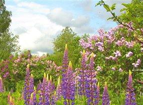 Лето начиналось сиренево-фиолетово…