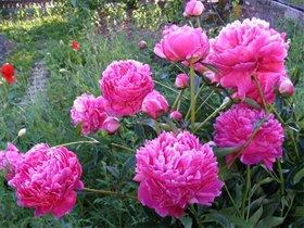 Пионы розовые.