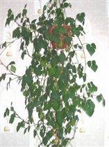 Циссус - Cissus ромболистный