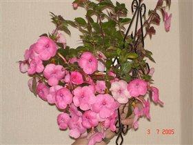 Ахименес розовый