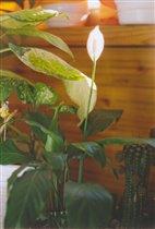 Спатифиллум - первое цветение