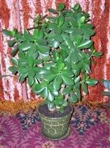 Crassula - Денежное дерево