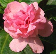 Бальзамин светло-розовый махровый