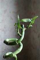 Бамбук счастья
