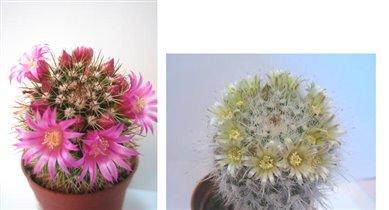 Mammillaria umbrina и Mammillaria parkinsonii