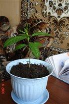 росток плюмерии