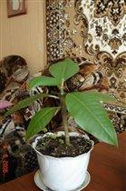росток плюмерии 6 месяцев