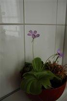 Наша [fleischfressende Pflanze] расцвела :-)
