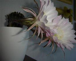 кактус-цветущий