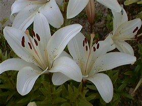Лилия белая - азиатский гибрид