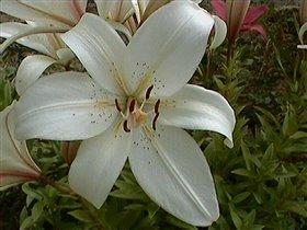 Лилия белая -азиатский гибрид