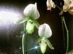 пафиопедилюм (венерин башмачок)