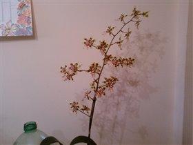 Odontoglossum Burrageara (вся цветочная стрелка)