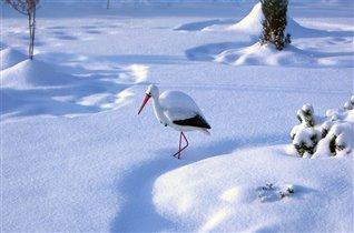 Аисты на снегу...