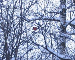 Снегирь в зимнем лесу