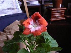 Пеларгония крупноцветковая (Герань)